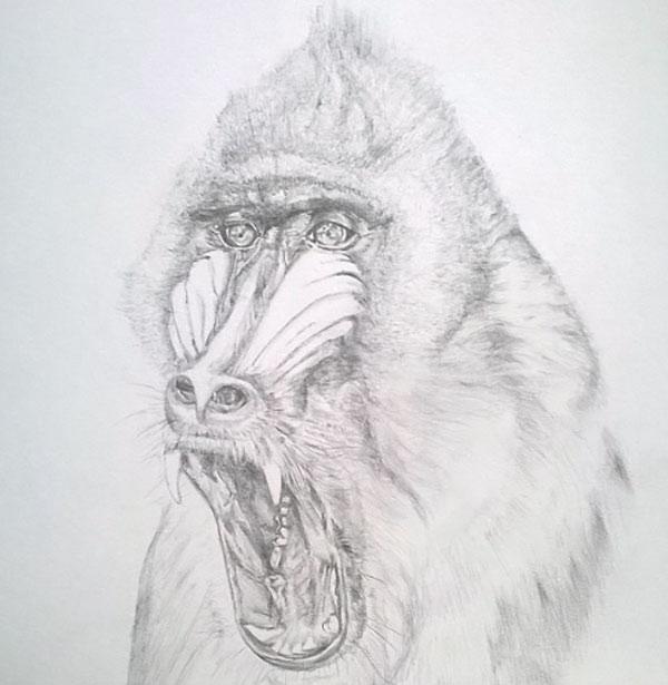 mandrill_zoo_animaux_art_dessin_melle_mademoiselle_bouche